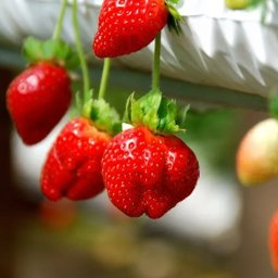 Genting Strawberry Leisure Farm, come enjoy fresh strawberries at this popular tourist attraction in Genting Highlands