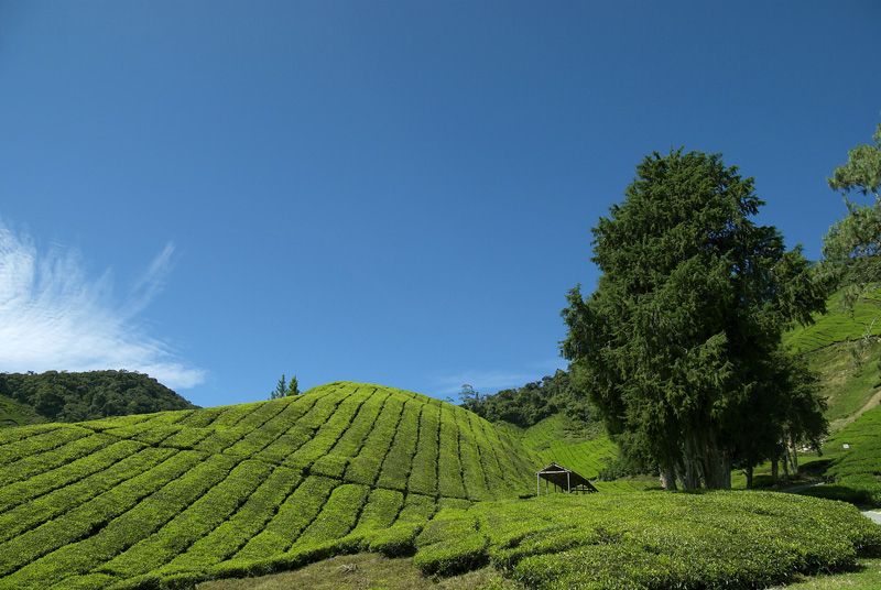 Tea plantations, Cameron Highlands Resort