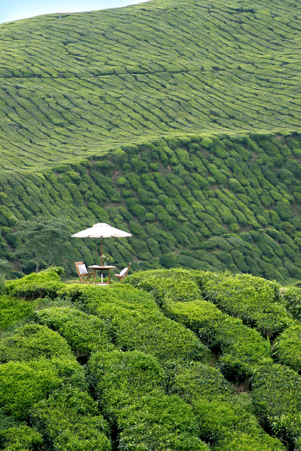 Tea Plantations on Cameron Highlands