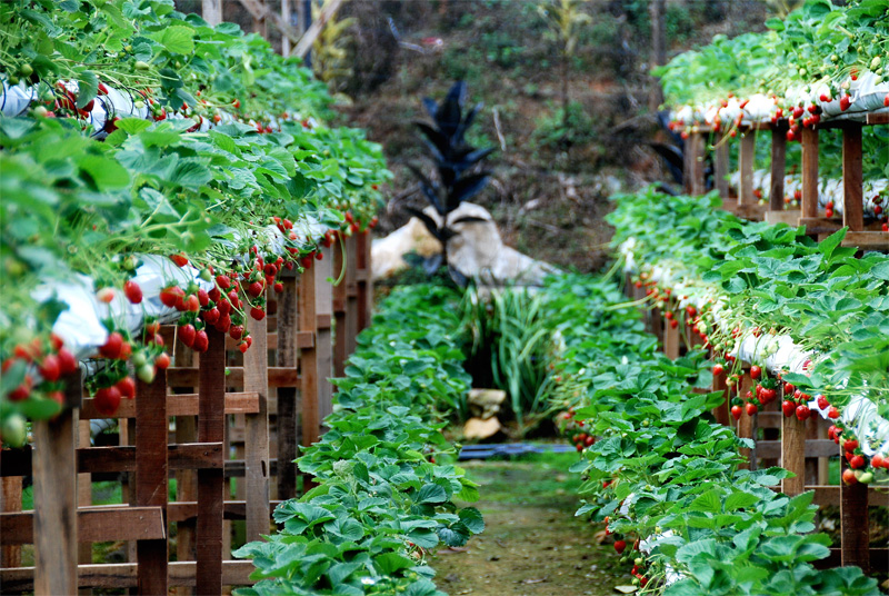 Genting Highlands strawberry farm