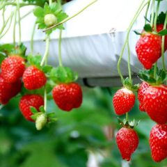 Genting Strawberry Leisure Farm, come enjoy fresh strawberries!